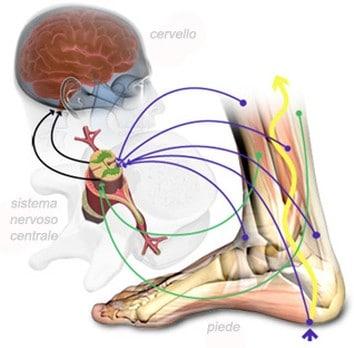 Connessione tra la pianta del piede, il sistema nervoso centrale ed il cervello.