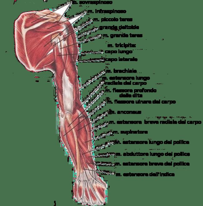 anatomia posteriore braccio, muscoli del braccio
